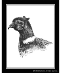 Pencil Sketch - Pheasant